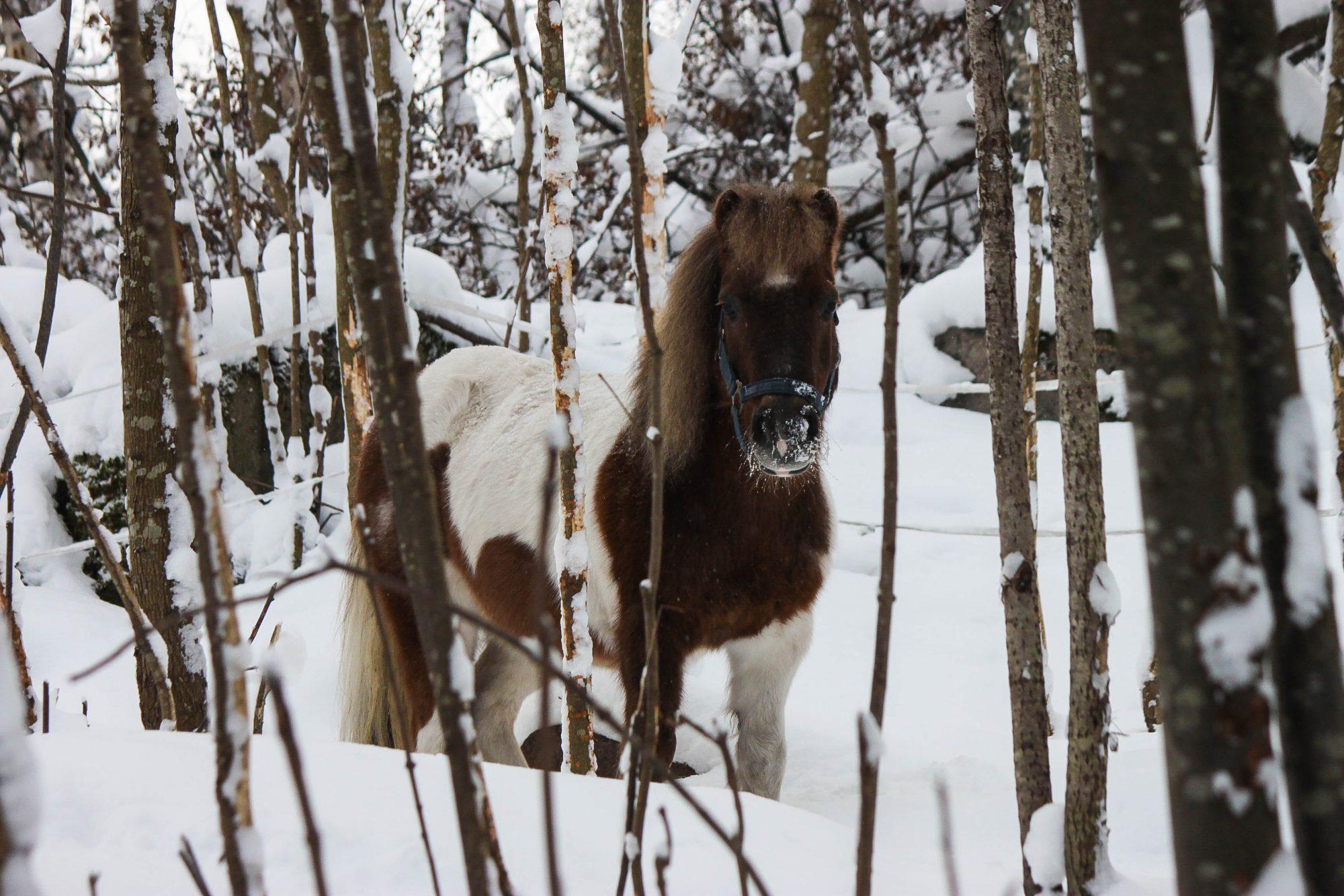 Poni-haka ponisynttäri kuva